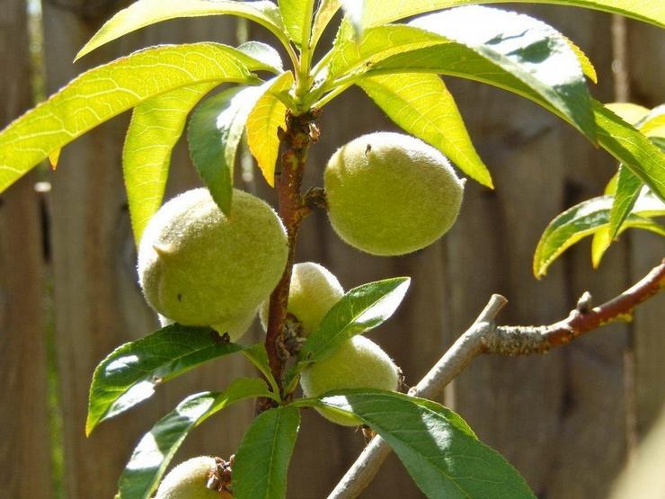 Уход за персиком в домашних условиях и открытом грунте