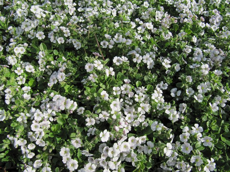 Цветок гипсофила – посадка и уход в открытом грунте. Выращивание гипсофилы из семян, способы размножения. Описание, виды. Фото