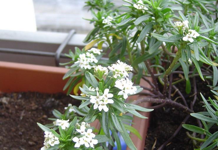 Выращивание ибериса из семян