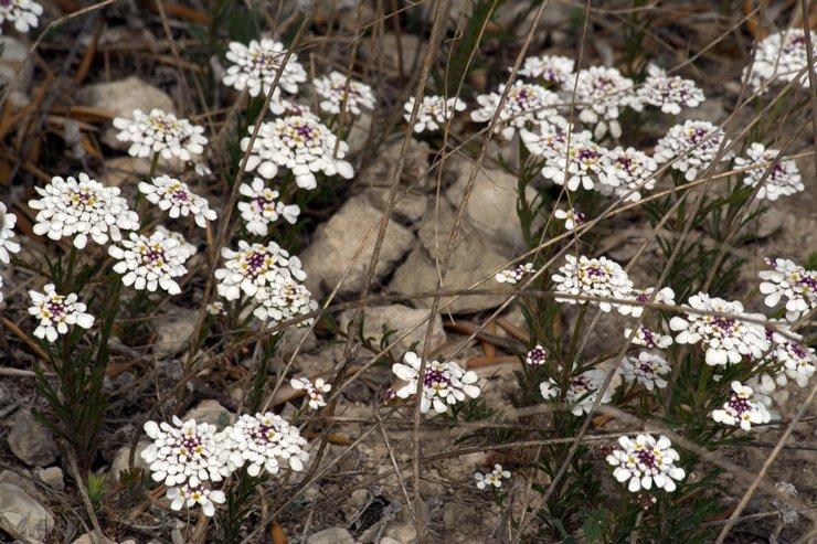 Иберис после цветения