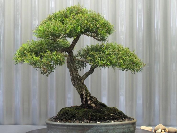 Чайное дерево (мелалеука) – уход в домашних условиях. Выращивание мелалеуки, пересадка и размножение. Описание, виды. Фото