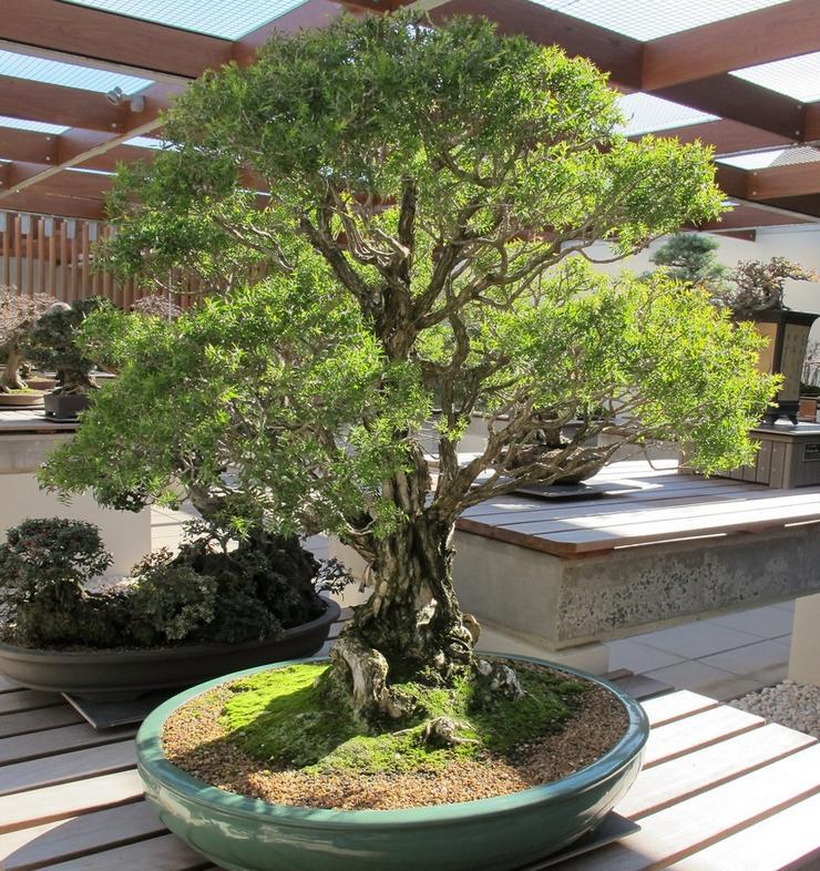 растение является влаголюбивым и, соответственно, требует регулярного полива