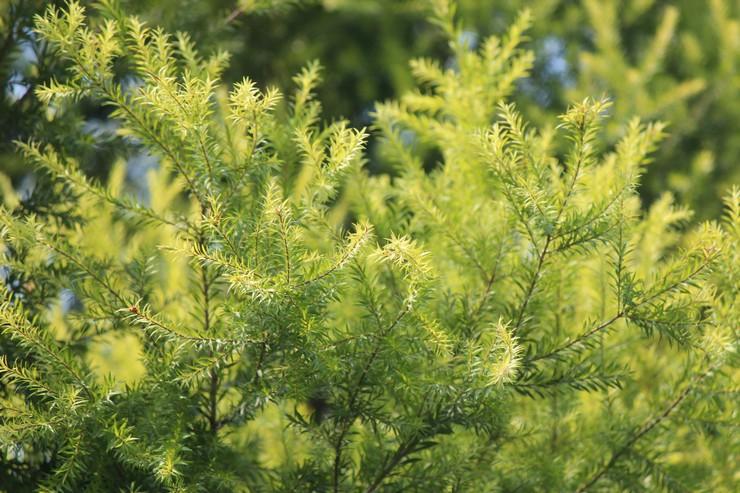 Виды и сорта чайного дерева