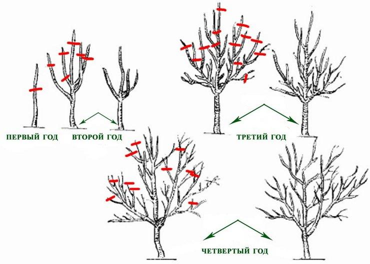 Обрезка многолетних деревьев