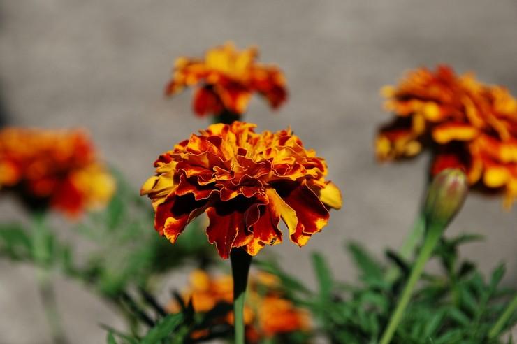 Применение соцветий бархатцев