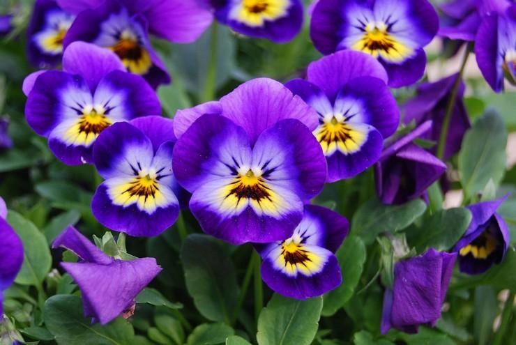Цветы виола – посадка и уход в открытом грунте. Выращивание виолы из семян, способы размножения. Описание, виды. Фото