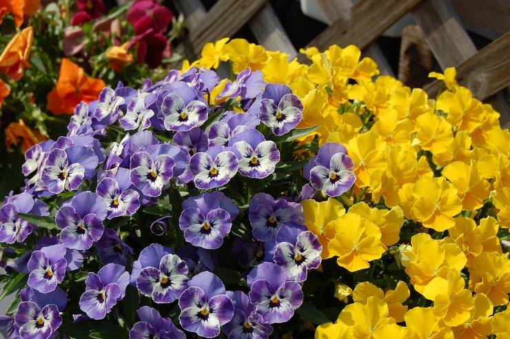 Характеристика и описание цветка виола