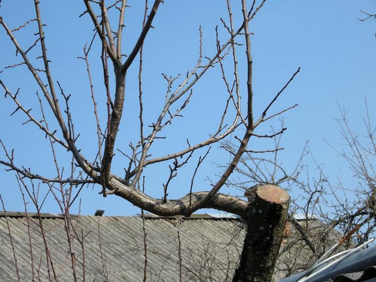 Как обрезать яблоню весной: сроки и схема для старых и молодых деревьев