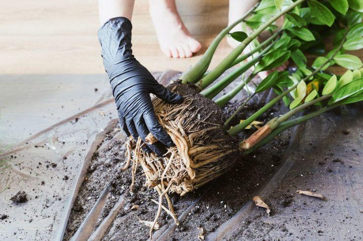 Насколько опасны ядовитые комнатные растения