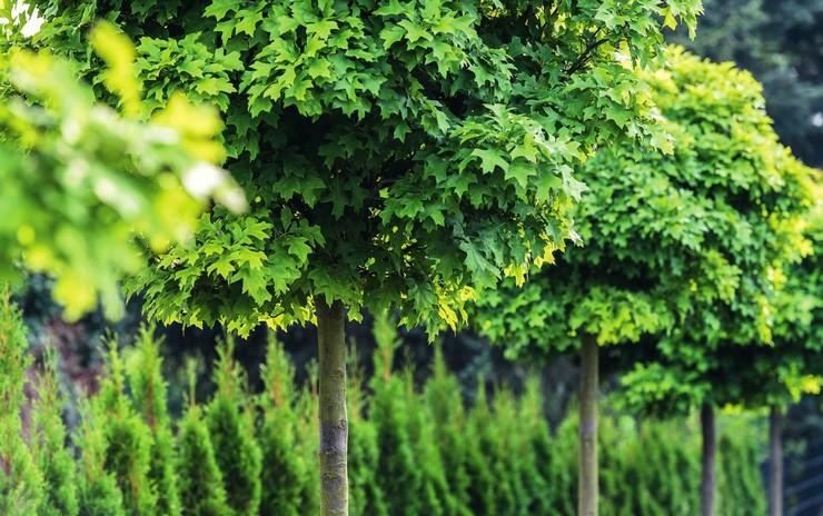 Эффектные деревья с круглой кроной в ландшафтном дизайне сада