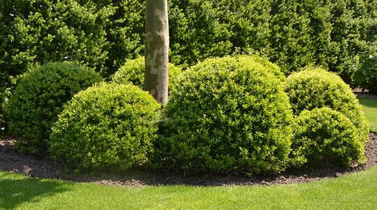 Наиболее гармонично смотрятся деревья с круглыми формами, имеющие высоту до 1 метра