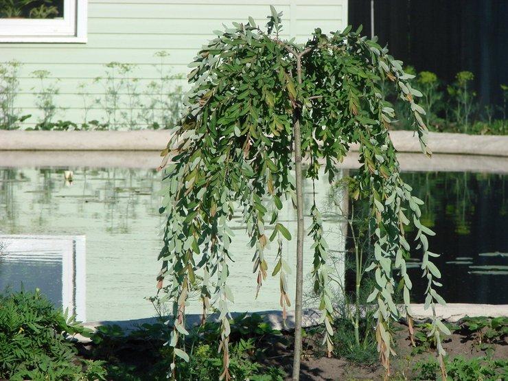 Не менее эффектное впечатление производят штамбовые каскадные деревья