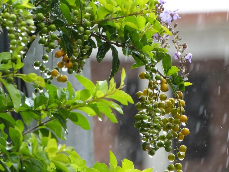 Поливать цветы в умеренных объемах рекомендуется на протяжении всего года