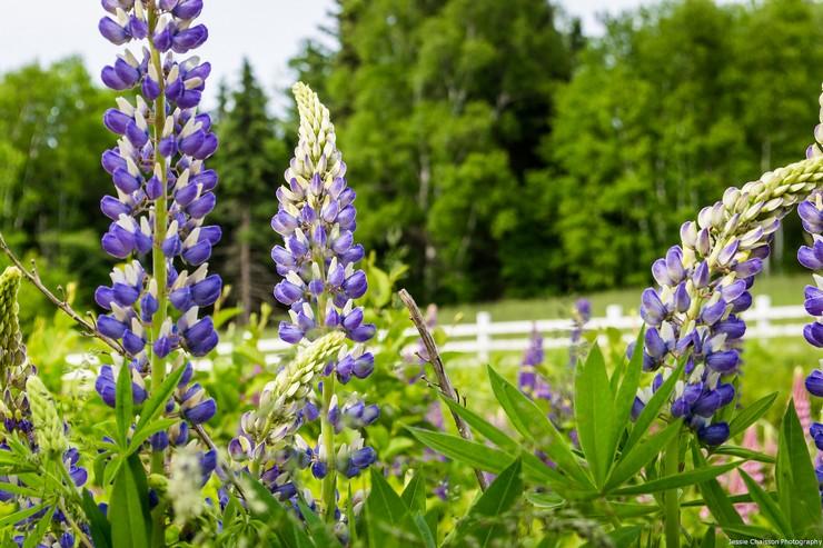 Люпин – травянистое растение, которое считается самым лучшим сидератом