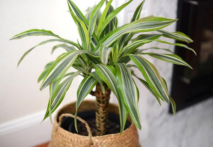 Весной и осенью каждые две недели растение необходимо подкармливать комплексными удобрениями