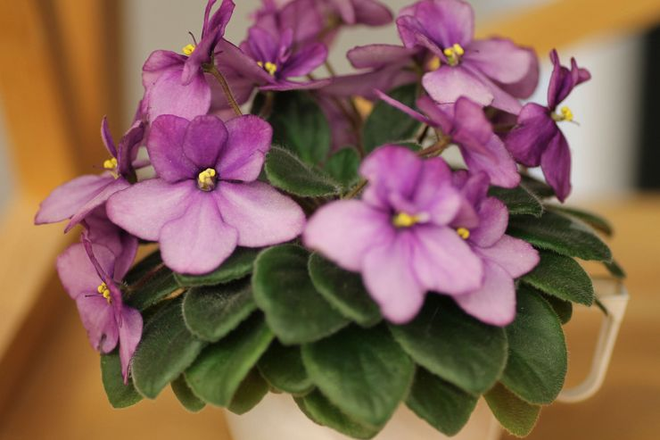 Фиалка, или сенполия – род травянистых красивоцветущих комнатных растений семейства Геснериевые