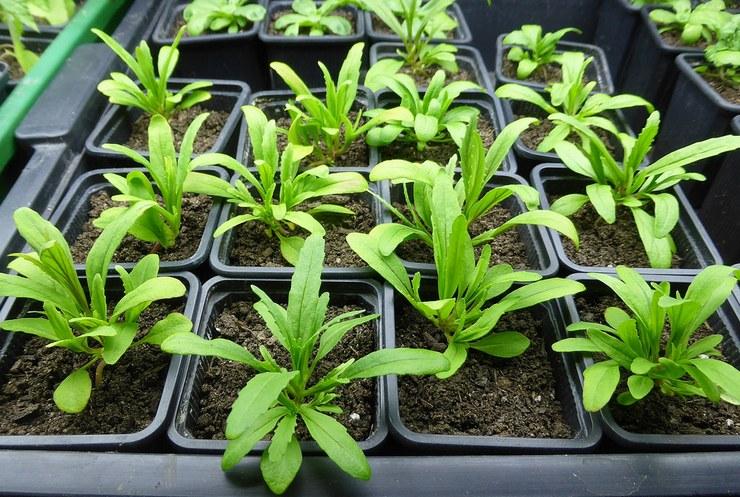Выращивание немезии из семян