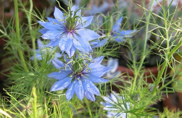 Нигелла – посадка и уход в открытом грунте. Выращивание нигеллы из семян, способы размножения. Описание, виды. Фото