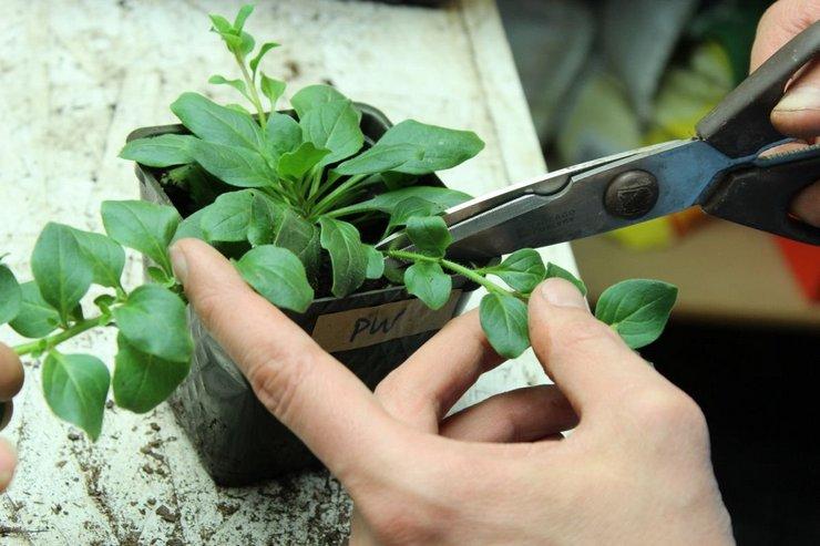 Для лучшего ветвления растений проводятся несколько прищипываний