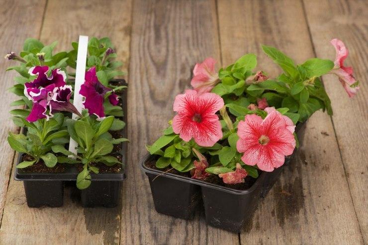 Рассада петунии в домашних условиях: как вырастить рассаду из семян, когда сеять