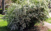 Спирея – посадка и уход в открытом грунте. Выращивание спиреи из семян, способы размножения. Описание, виды. Фото