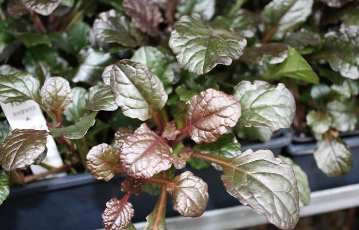 Выращивание живучки из семян