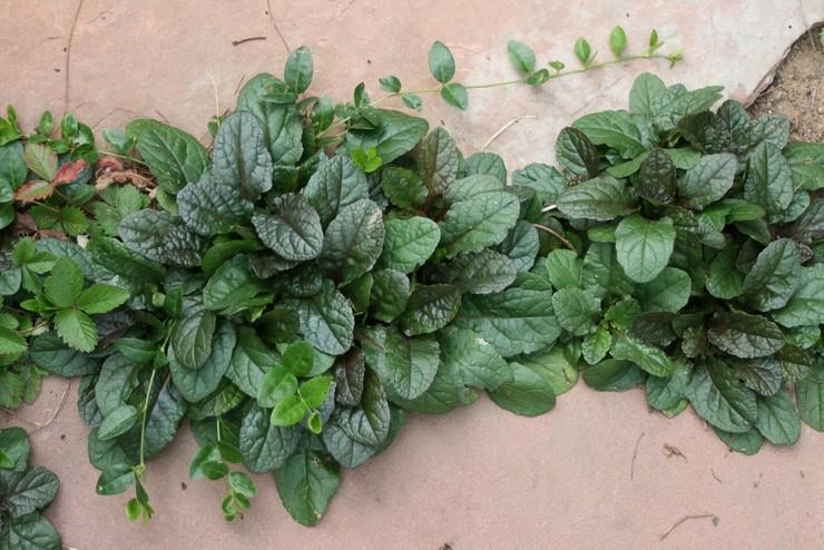 Особенности выращивания живучки