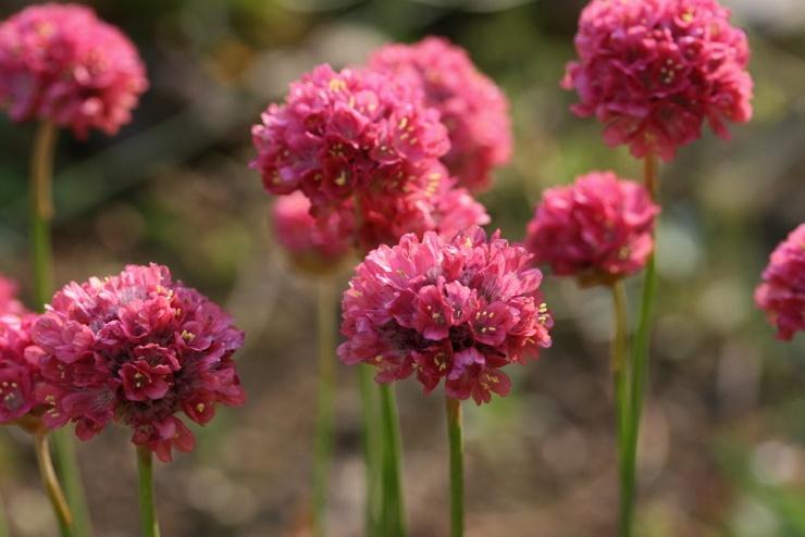 Армерия – посадка и уход в открытом грунте. Выращивание цветка армерии, способы размножения. Описание, виды. Фото