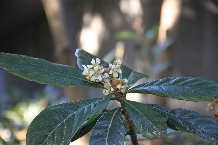 Описание растения мушмула