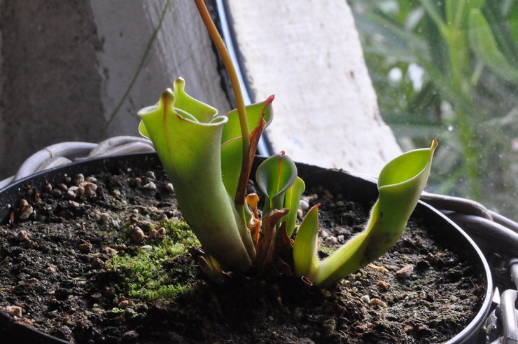 Специально пересаживать растение необязательно