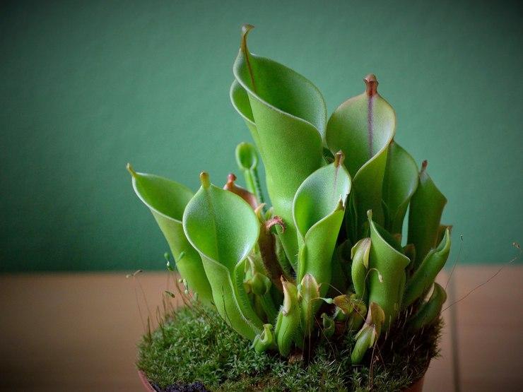 Гелиамфора – уход в домашних условиях. Выращивание гелиамфоры, пересадка и размножение. Описание, виды. Фото