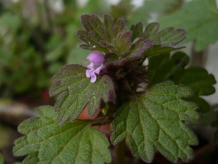 Выращивание яснотки из семян