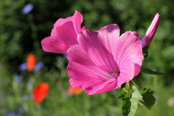 Лаватера – посадка и уход в открытом грунте. Выращивание цветка лаватеры из семян. Описание, виды. Фото