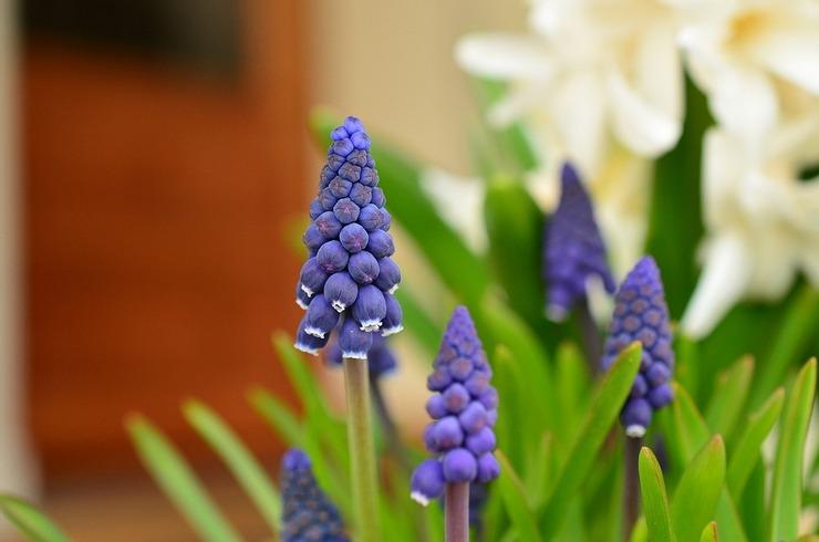 Описание цветов мускари
