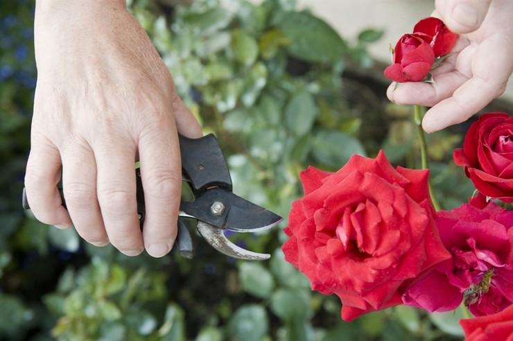 Правила обрезки комнатных роз