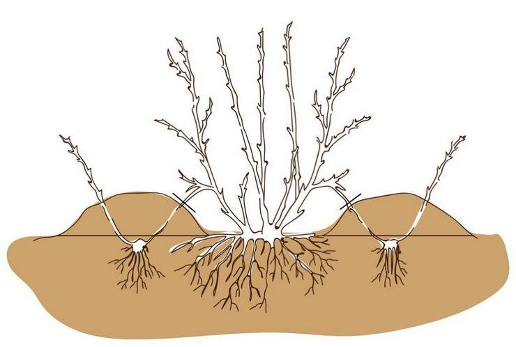 Размножение пузыреплодника отводками