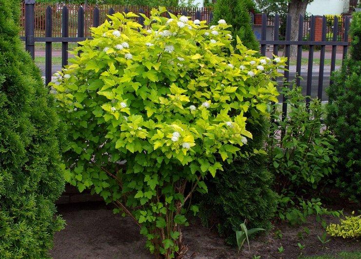 Безболезненно пересадить кусты можно до начала вегетативного периода или поздней осенью