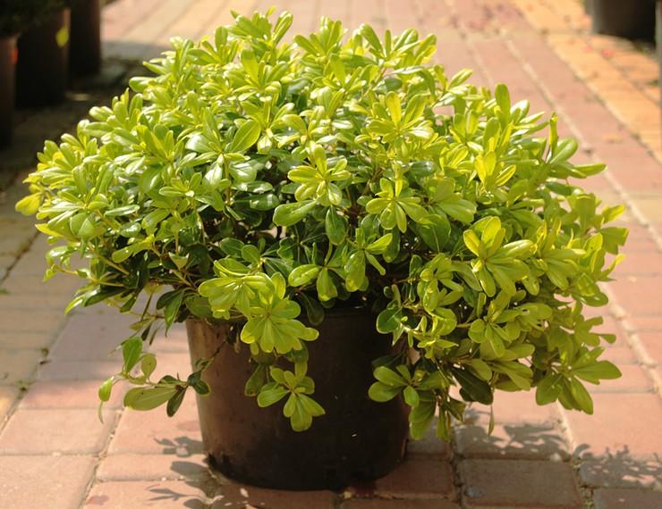 Весной смолосемянник нуждается в органических и минеральных удобрениях