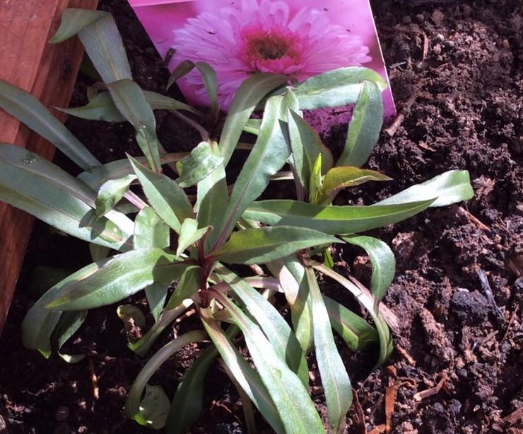 Выращивание сентябринок из семян