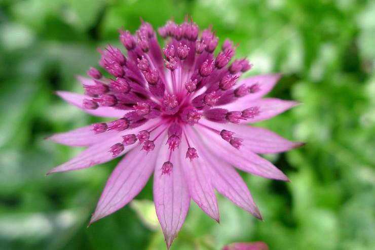 Астранция – посадка и уход в открытом грунте. Выращивание астранции из семян, способы размножения. Описание, виды. Фото
