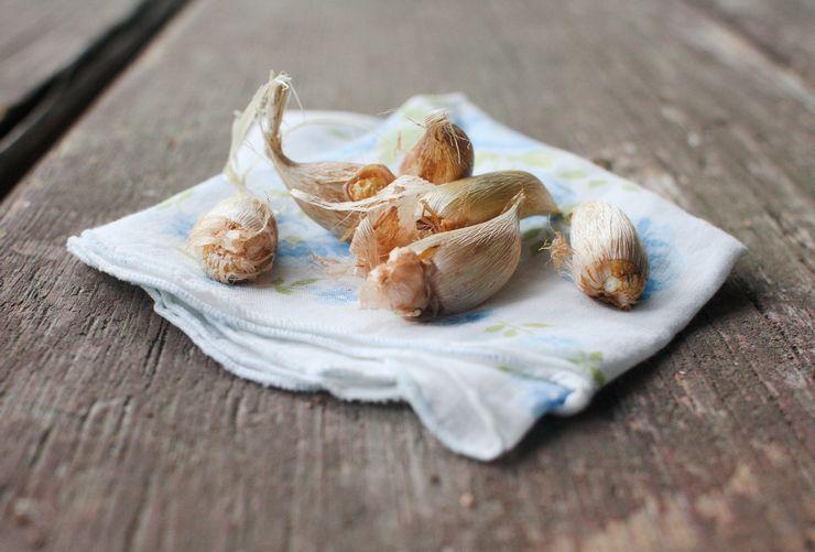 Хранение луковиц фрезии