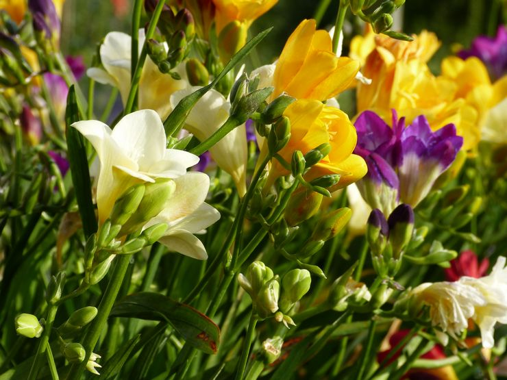 Уход за фрезией в саду