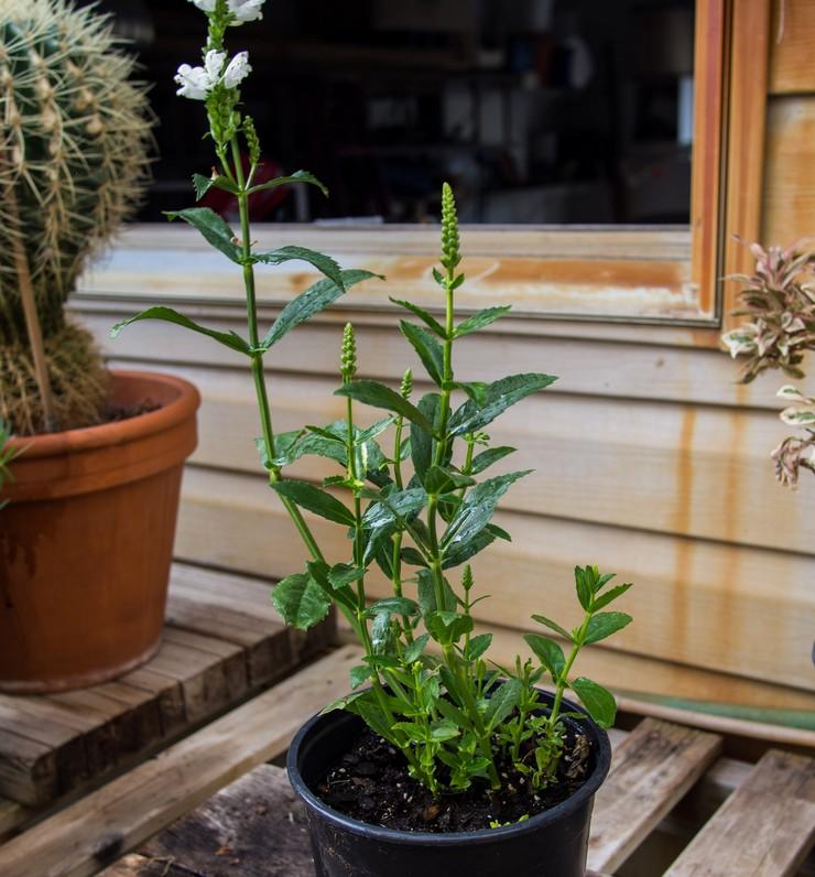 Выращивание физостегии из семян