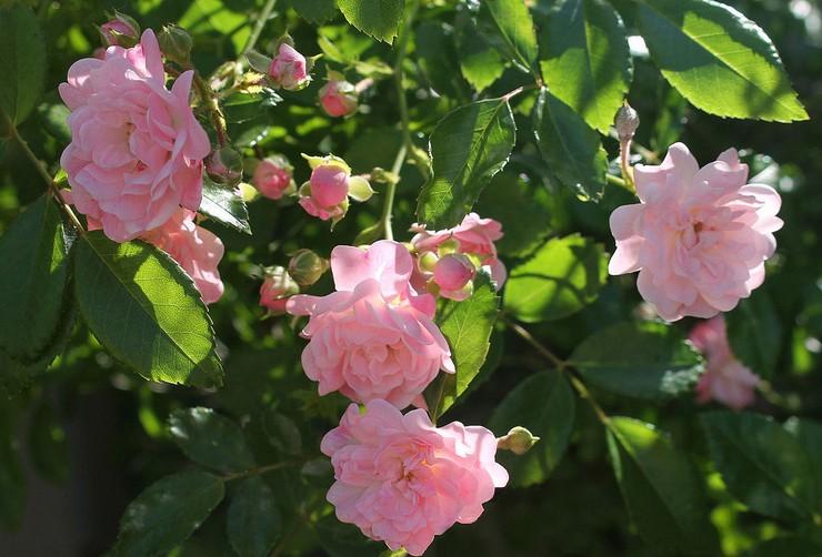 Виды и сорта полиантовой розы