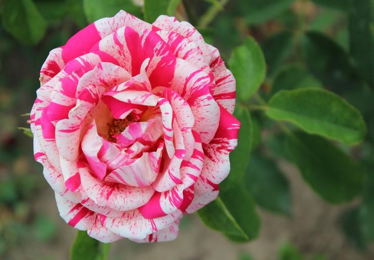 Папагено (Polyantha Rose Papageno)