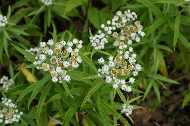 Анафалис – посадка и уход в открытом грунте. Выращивание анафалиса из семян. Описание, виды. Фото