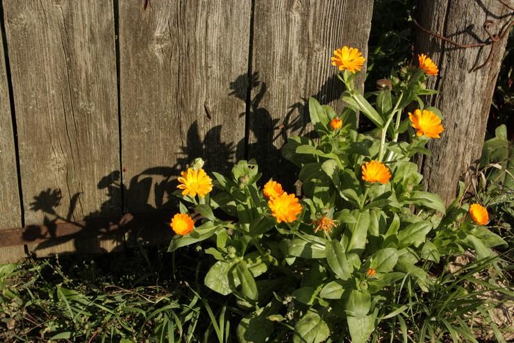 Уход за календулой в саду