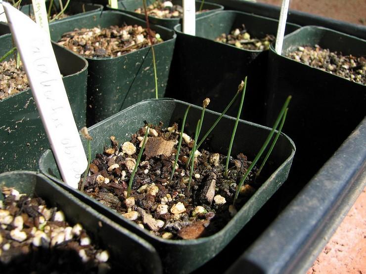 Выращивание калохортуса из семян