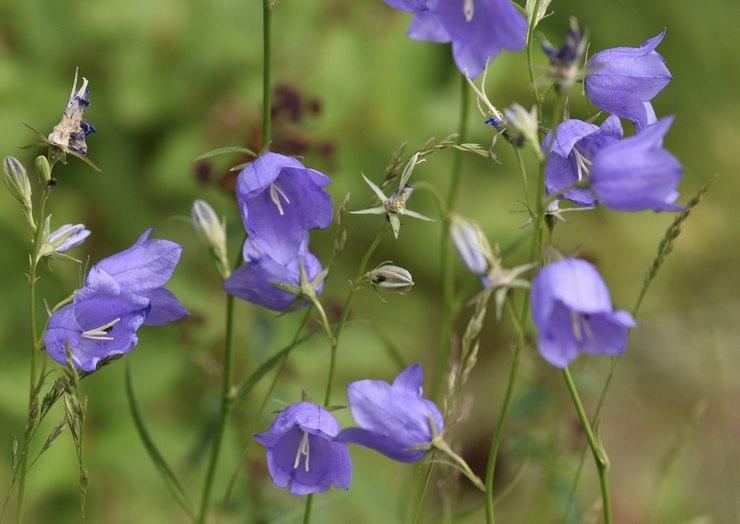 Колокольчики после цветения