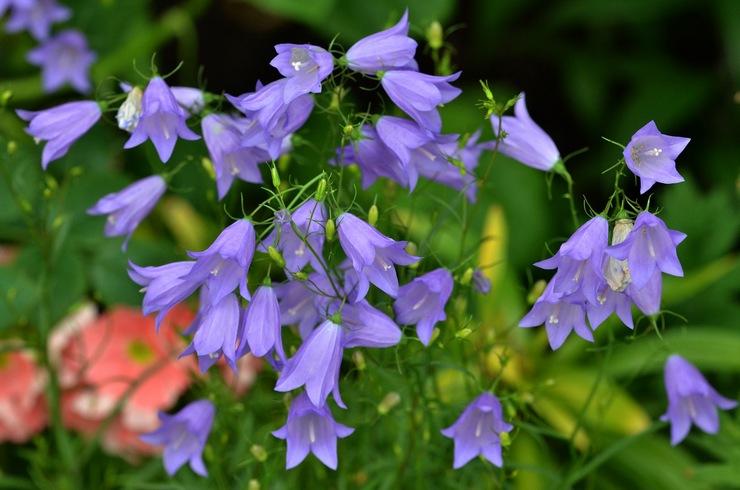 Цветы колокольчики – посадка и уход в открытом грунте. Выращивание колокольчиков из семян, способы размножения. Описание, виды. Фото